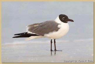 florida gull 2